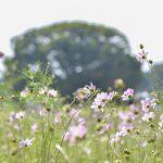 今が旬!昭和記念公園のコスモスを撮ろう!